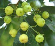 多要素气象站:油柑种植需要什么样的气候条件